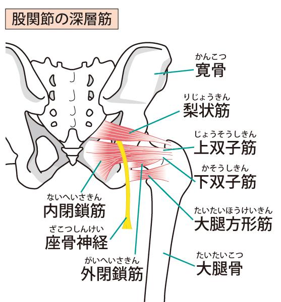 股関節の深層筋のイラスト