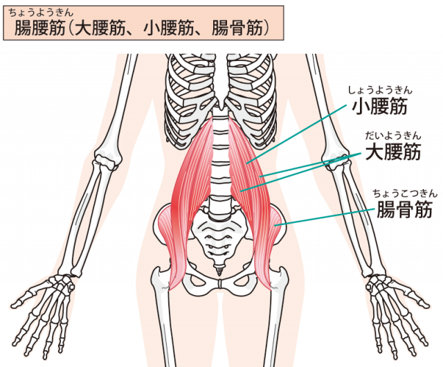 大腰筋はぎっくり腰と深い関係があります。