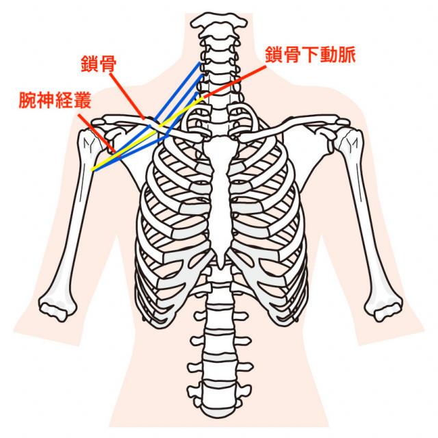 肩周辺筋肉のイラスト