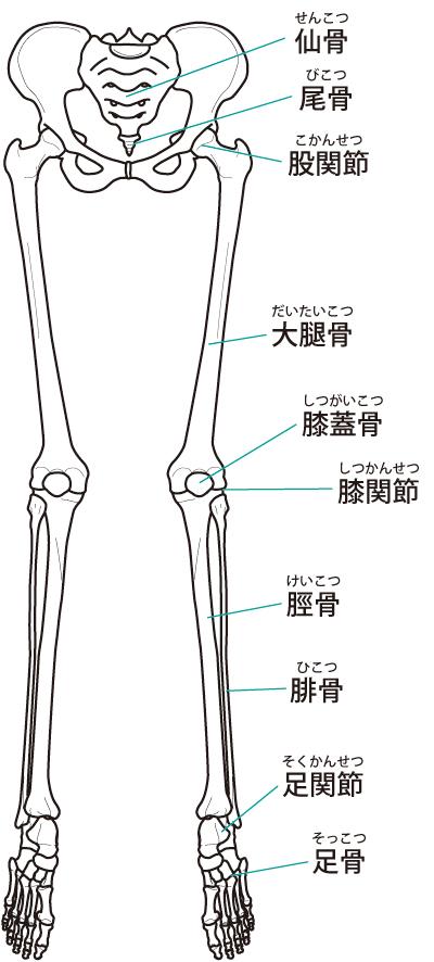 下肢の骨のイラスト
