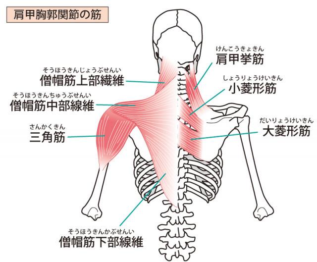 背中の筋肉のイラスト