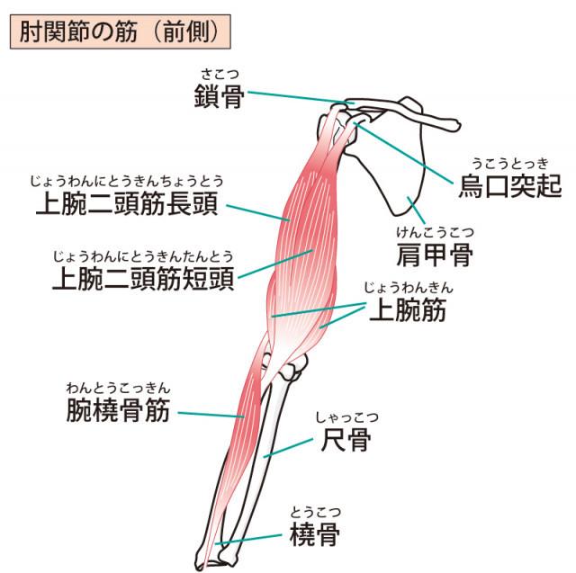 肘関節の筋のイラスト